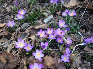 Crocus t. Barr's Purple P19