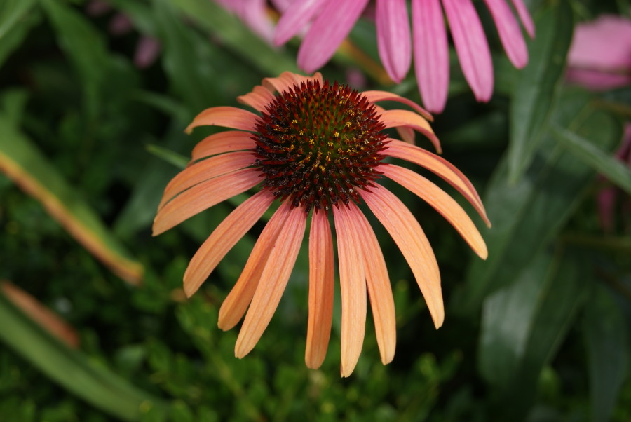 Echinacea will all be featured